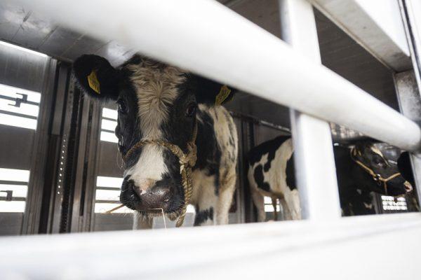 Un transport special cu 70 de vaci de lapte din Irlanda,  destinate comunitatilor defavorizate din Transilvania, ajunge pe aeroportul international Traian Vuia din Timisoara.  09.11.2014 ©Cornel Putan