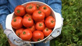 subventie-tomate-rosii-in-solar