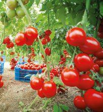 Jorge Marin Ruiz erntet Tomaten, deren Saatgut Nunhems-Forscher mit einer natürlichen Resistenz gegen Tomaten-Viren ausgestattet haben. Bildquelle: Bayer CropScience AG Bild Verwertung: Nutzung mit Quellenvermerk für redaktionelle Beiträge über den Bayerkonzern gestattet. Die kommerzielle Weitergabe an Dritte ist unzulässig. ----------------------------------------------- Jorge Marin Ruiz harvests tomatoes grown from seeds which Nunhems researchers modified to give them a natural resistance to tomato viruses. Photo credit: Bayer CropScience AG Photo use: Photo may be used to accompany reports on Bayer provided the source is mentioned. Resale to third parties is prohibited.